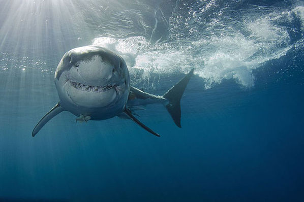 sh鲨鱼 简笔画