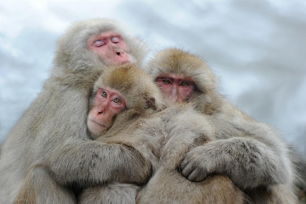 真的很会享受 北海道泡温泉的猴子们
