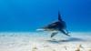 锤头太出名 英气锤头鲨水下精彩摄影作品