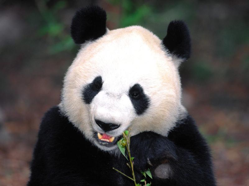 【高清图】功夫熊猫踢暴全球 超可爱国宝主题壁纸 图7