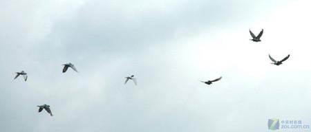 鸽子背上背包 GPS微型化方便科学研究